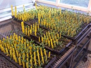 Canada Lily plants at hwy104antigonish.ca